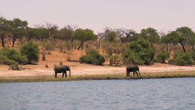 Elefanti africani al fiume il giorno soleggiato archivi video