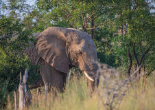 Elefanti africani al savvanah al parco nazionale reale di Hlane Fotografia Stock Libera da Diritti