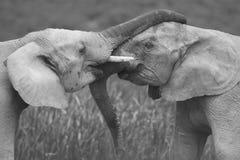 Elefanti africani che accolgono, abbraccianti o strappantesi allegro nel bianco e nero Immagine Stock