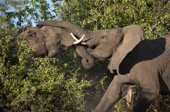 Elefanti africani che combattono - il Botswana Fotografia Stock