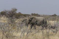 Elefanti africani che pascono nel boschetto dell'acacia, parco nazionale di Etosha, Namibia Fotografia Stock
