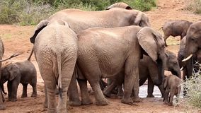 Elefanti africani che spingono al Waterhole stock footage
