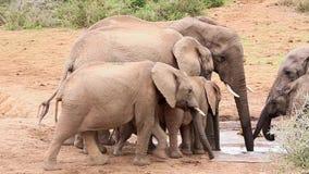 Elefanti africani che spingono al Waterhole archivi video