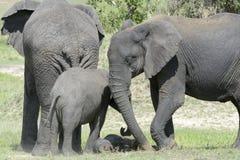 Elefanti africani con il bambino sulla savanna Immagine Stock Libera da Diritti