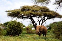 Elefanti africani in Masai Mara. Immagine Stock