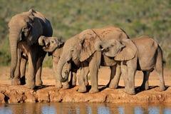 Elefanti africani a waterhole fotografia stock