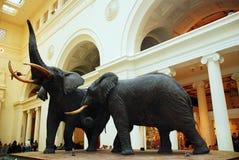 Elefanti al museo Fotografie Stock Libere da Diritti