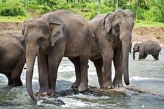 Elefanti asiatici Fotografia Stock Libera da Diritti
