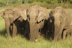 Elefanti asiatici Immagine Stock Libera da Diritti