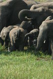 Elefanti assetati Fotografia Stock Libera da Diritti