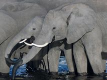 Elefanti assetati Immagini Stock Libere da Diritti