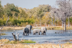 Elefanti assetati Fotografie Stock Libere da Diritti