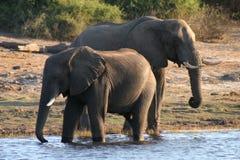 Elefanti assetati Fotografia Stock