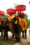 Elefanti, Ayutthaya, Tailandia. Fotografia Stock Libera da Diritti