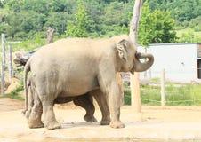 Elefanti beventi Fotografie Stock