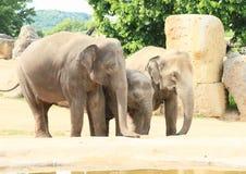 Elefanti beventi Fotografia Stock