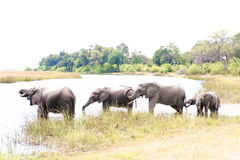 Elefanti beventi nel Botswana, Africa Fotografie Stock Libere da Diritti
