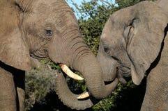 Elefanti che accolgono Fotografia Stock