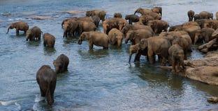 Elefanti che bagnano in Sri Lanka Fotografie Stock Libere da Diritti