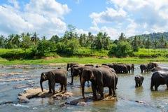 Elefanti che bagnano in un lago nel orphantage di Pinnawala fotografia stock