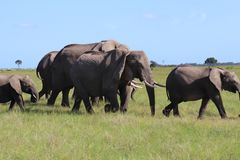 Elefanti che camminano con il bambino Calfs fotografia stock libera da diritti
