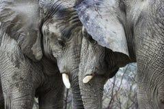 Elefanti che confinano testa Fotografia Stock