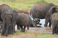 Elefanti che giocano nell'acqua Fotografia Stock Libera da Diritti