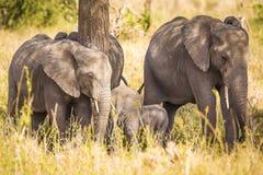 Elefanti che mangiano erba in Serengeti Africa fotografia stock