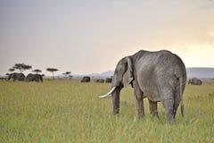 Elefanti che pascono nella penombra Fotografia Stock Libera da Diritti