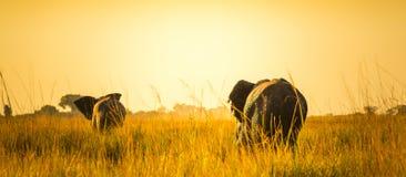 Elefanti che si allontanano sulle pianure africane Immagini Stock