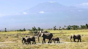 Elefanti che stanno davanti al kilimanjaro di mt in amboseli, Kenia immagini stock libere da diritti