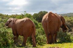 Elefanti che stanno e che mangiano i rami Immagini Stock
