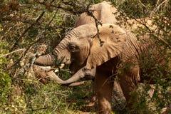 Elefanti che stanno insieme mangianti i rami Immagini Stock Libere da Diritti
