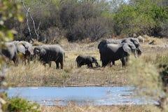 Elefanti con l'elefante del bambino Fotografia Stock
