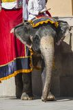Elefanti decorati in Jaleb Chowk in Amber Fort a Jaipur, Indi Fotografia Stock