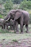Elefanti dei masai Mara 7 Fotografia Stock Libera da Diritti
