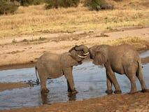 Elefanti del bambino con le zanne dell'avorio bloccate Fotografia Stock