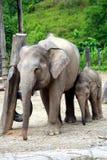 Elefanti del bambino e della madre Fotografie Stock