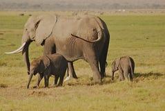 Elefanti del bambino e della madre Fotografia Stock