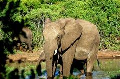 Elefanti del bambino e della madre Immagini Stock Libere da Diritti