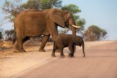 Elefanti del bambino e della madre che attraversano la strada Fotografia Stock