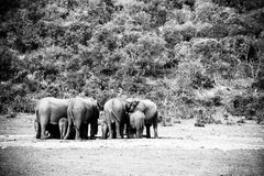 Elefanti del bambino e della mamma che si riuniscono alla diga Fotografie Stock Libere da Diritti