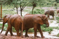 Elefanti del bambino nel Kenya Immagini Stock