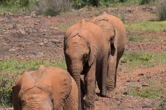 Elefanti del bambino nella linea immagini stock libere da diritti