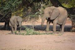 Elefanti del deserto Fotografia Stock