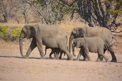 Elefanti del deserto Immagine Stock Libera da Diritti
