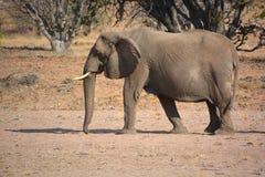 Elefanti del deserto Fotografie Stock