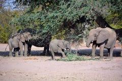 Elefanti del deserto Immagine Stock
