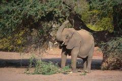 Elefanti del deserto Immagini Stock Libere da Diritti