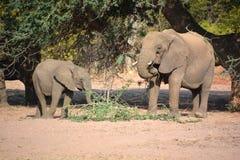 Elefanti del deserto Immagini Stock